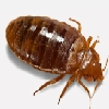 Bed Bugs Control Chennai