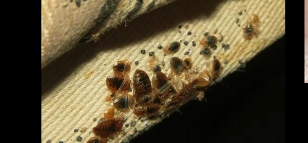 Bed bugs removal pest control for bed bugs bed bugs for Bedroom key dragon age origins