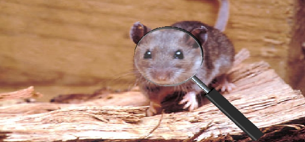 Pest Control For Rodents Rodent Removal Rodent Control